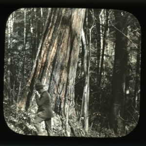 Old growth Chestnut tree, with man at its roots