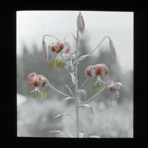 A life in the moment of Turk's cap lily