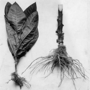 Plants of same age showing stunting due to root rot.  Thielavia basicola