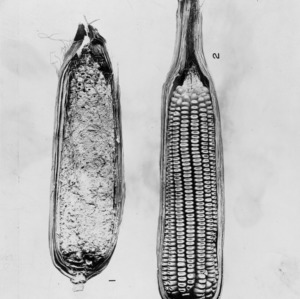 Two ears of corn, showing effects of unidentified disease