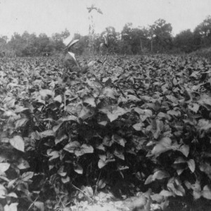 J. A. Culbreth in a field of soy beans, Falcon, North Carolina