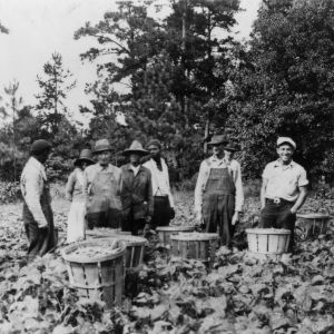 Picking map beans near Knightdale, North Carolina Emergency Relief Administration