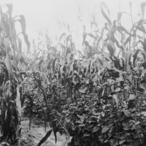 Corn growing on land where C. clover was turned under in spring of 1925, August 20, 1926