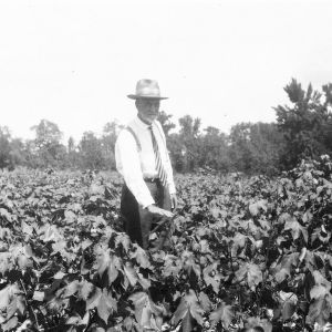 Cotton field after crop rotation with peanuts, 1928