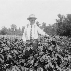 Cotton field after crop rotation with velvet beans, 1928