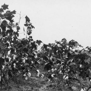 Cotton growth from different treatments, 1928