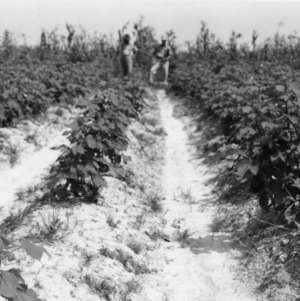 Comparison of cotton crop grown from Ceresan treated seeds and a crop from untreated seeds, 1938