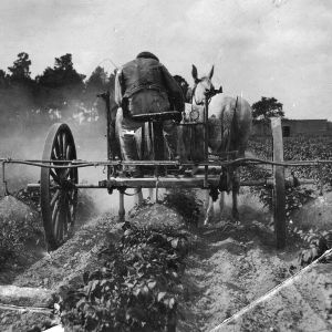 Spraying Irish potatoes, 1911