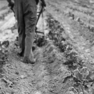 Man working sweet potato field with cultivator