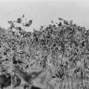 Showing contrast between the soybeans where brush pile burned and rest of field. [Lipman Jones, Earlys NC] Fertilized with 400 # 9-3-0 per acre. Oats and vetch were poor on this field in spring, September 4, 1925