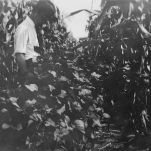 Biloxi-otootan hybrid soybeans planted April 15, 1927 on the farm of John L. Grady of Mount Olive, North Carolina, July 14, 1927