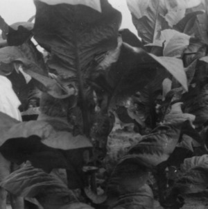 Cash tobacco grown by Mr. Macon Parrott in Granville County, North Carolina, July 25, 1927