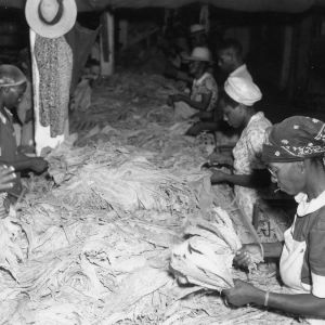 People tying hands of tobacco leaves for curing, 1940