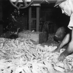 Preparing tobacco leaves, 1940