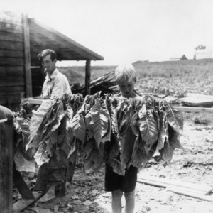 Child helping to prepare tobacco leaves for curing, 1940