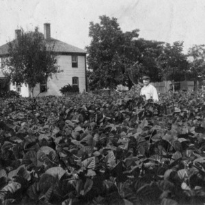 Man standing in a tobacco field, 1911