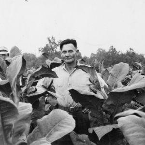 Haywood Strickland of Nashville, North Carolina, in a Nash County tobacco field, 1938
