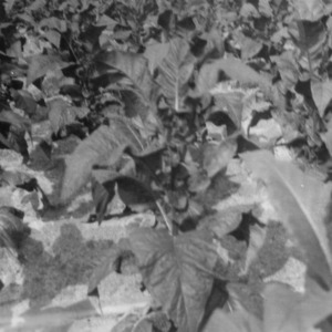Cash tobacco planted June 10, which has made unusual growth, Granville, North Carolina, July 25, 1927