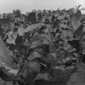 Cash tobacco grown by Mr. Parrotts's son, Granville County, North Carolina, July 25, 1927
