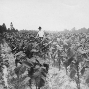 County agent Chamblee in a tobacco field