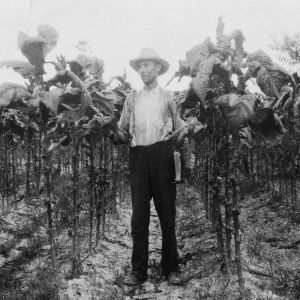 Tobacco on very rich land, fertilized with 1000 pounds of 8-3-5 per acre. Plants set 18 inches in row. This tobacco has cured excellently. G. E. Callahan, Bladensboro (Bladen Co.), N.C., August 20, 1926