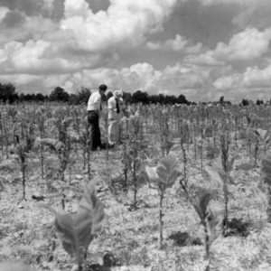 Two men examining a field of tobacco plants, 1940