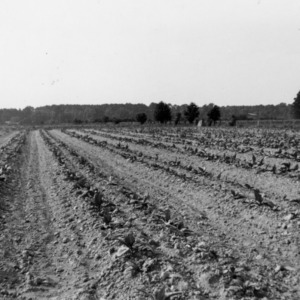 Wide and narrow row tobacco in field