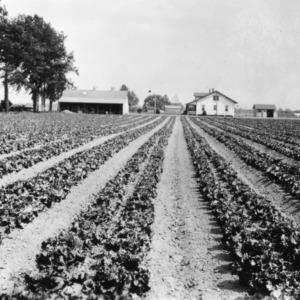 Field of lettuce on farm near North Carolina State College