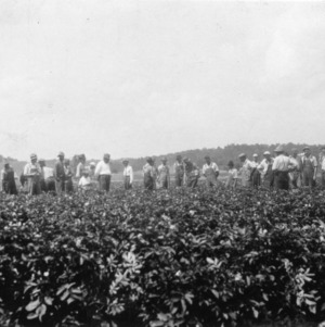Field of green mountain potatoes grown from certified seed, Henderson County, North Carolina, June 1932