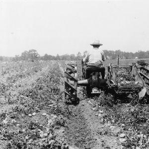 Harvesting Irish potatoes, North Carolina State College, Raleigh, North Carolina