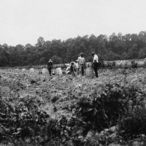 Digging potatoes, Pasquatank County, North Carolina, August 3, 1928