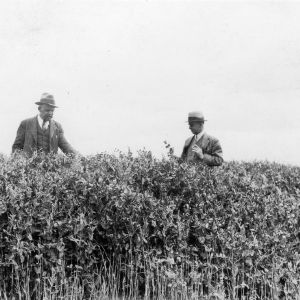"""Oats 1 1/2 bu, barley 1 1/2 bu, Austrian winter peas 15# sown about October 15, Apex, North Carolina, May 12, 1931"""