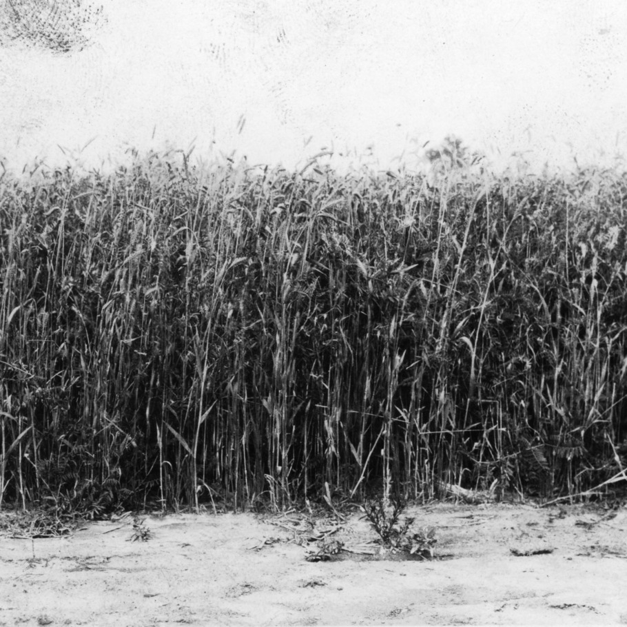 """Oats 1 1/4 bu, North Carolina barley 1 1/4 bu, hairy vetch 15# sown October 15, Holly Springs, North Carolina, May 13, 1931"""