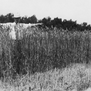 Man standing in a field of wheat, Goldsboro, North Carolina
