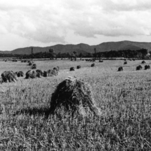 Wheat field before threshing