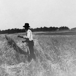 Harvesting wheat with a cradle, June 1918