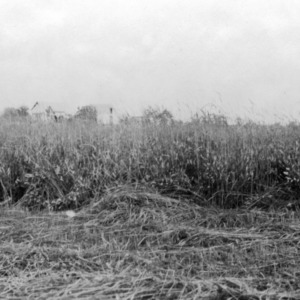 Oat and vetch, E. W. Worth, Raleigh, North Carolina, June 1919