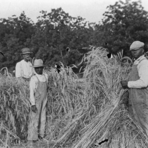 Shocking rye, experiment rotation plots, Edgecombe farm, June 1925