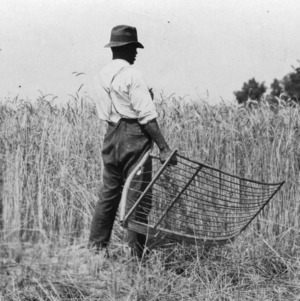 Cradling rye on experiment rotation plots at Edgecombe farm, June 1925