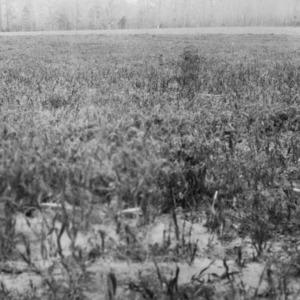 Comparison of rye and vetch on good sandy loam, B. N. Sykes, Harrellsville, North Carolina, April 15, 1926
