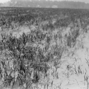 Comparison of rye and vetch on poor sand, B. N. Sykes, Harrellsville, North Carolina, April 15, 1926