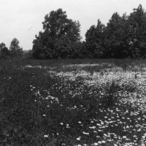 Alfalfa sown in spring of 1924