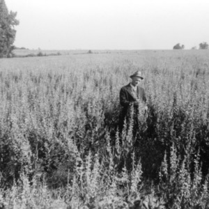 J. B. McDevitt in a big field of crotalaria, October 1936