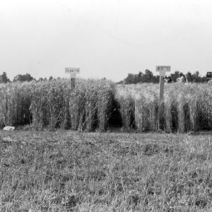 Barley grown for the small grain demonstration field day on the farm of C. L. Neal, Salisbury, North Carolina, May 17, 1939