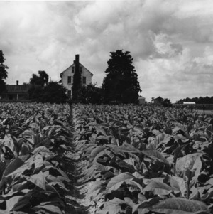 Field of tobacco with house in the background