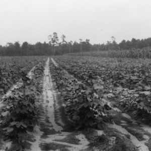 Cotton growing on light sandy land at farm in Parkersburg, NC, 1928