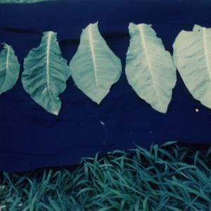 Comparison of tobacco leaves