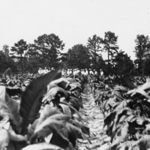 Group of men in a tobacco field