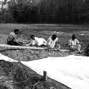 Picking weeds from tobacco beds in Whiteville area
