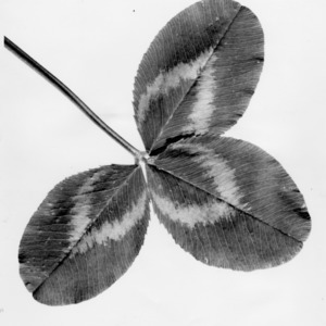 Leaf with discoloration